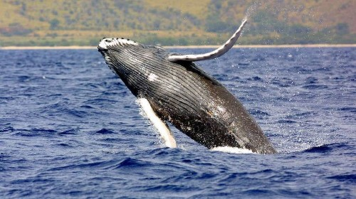 Japan wants respect for its 'whaling tradition' - Los Angeles Times