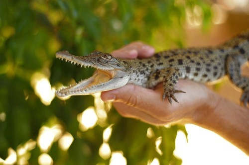 When it comes to DNA, crocodiles and birds flock together
