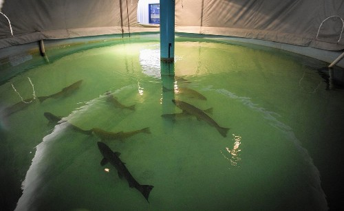 Chinook salmon spawning season looks like a disaster for second year in a row