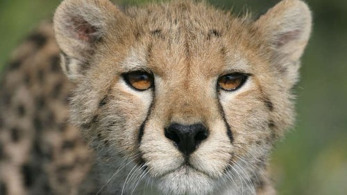 Cheetahs are experiencing alarming declines and should be listed as endangered, scientists say