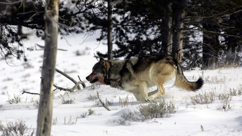 Track wolves and other wildlife on Yellowstone tour - Los Angeles Times