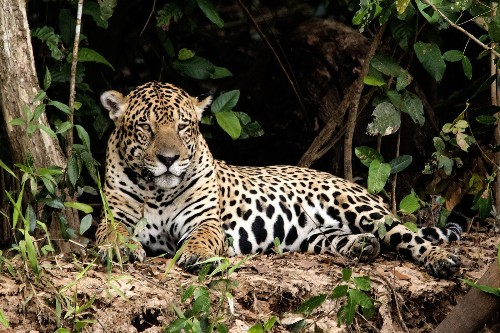 Brazil: Photography tour in search of the elusive jaguar - Los Angeles Times