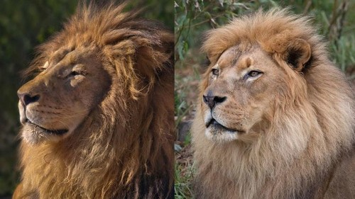 Two beloved lions die of old age at California zoos this week