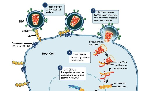 With genetic engineering, scientists use decoy molecule to trick HIV - Los Angeles Times