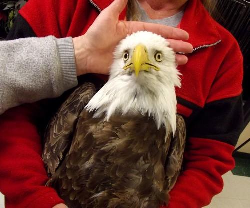 West Nile virus blamed for rash of bald eagle deaths in Utah