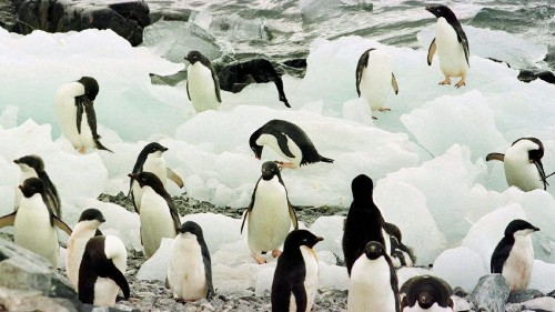 Penguins offer U.S. a lesson in addressing climate change - Los Angeles Times
