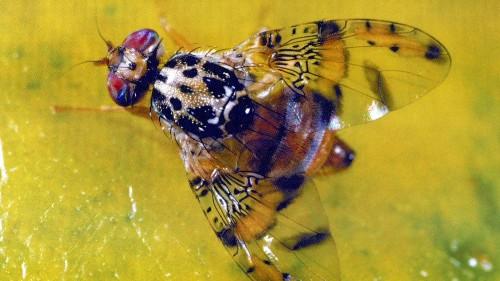 Medfly quarantine expands in San Fernando Valley