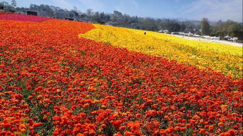 Beyond the super bloom: Other places in the West to get your fill of flowers