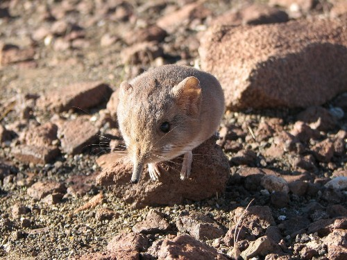 New sengi species is related to an elephant, but small as a mouse