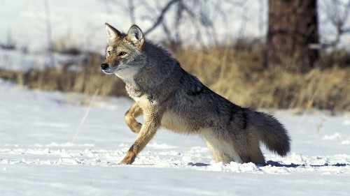 Reviled predator, often a target of 'coyote whacking,' is gaining a flicker of respect