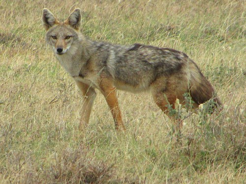 DNA proves it: African 'golden jackal' is really a golden wolf - Los Angeles Times