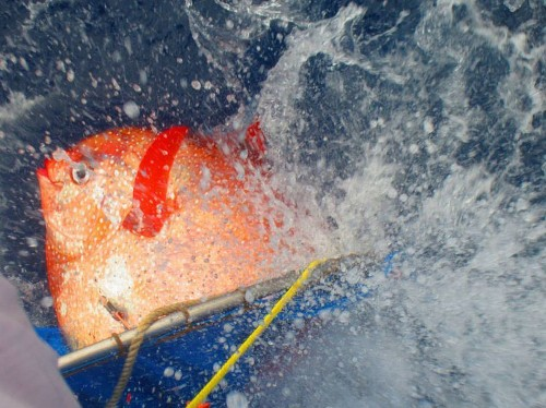 Deep in the ocean, the world's first known warm-blooded fish