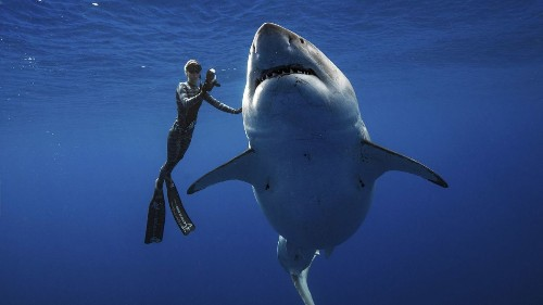 Researchers come face-to-face with huge great white shark - Los Angeles Times
