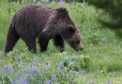 Grizzly bears wound 4 in and near Yellowstone