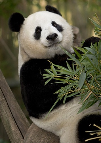 A very pregnant pause: San Diego waits to see if Bai Yun the panda is expecting