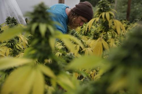 From pot edibles to farming techniques, California sets marijuana rules - Los Angeles Times