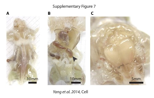 Scientists create see-through mouse and rat bodies