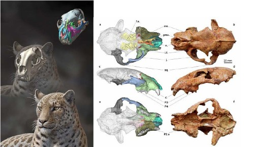 Oldest big cat fossil found in Tibet