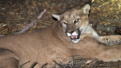 Keeping wild pumas alive in an urban environment is hard work. Is L.A. willing to do what it takes? - Los Angeles Times