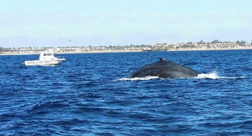 Rescuers cut fishing line wrapped around whale's tail off La Jolla coast