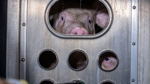 Pigs are intelligent animals slaughtered by the millions. Enjoy your ham sandwich