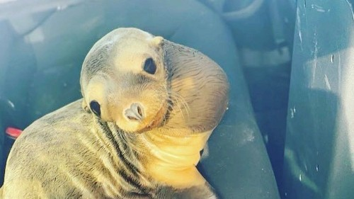 Baby sea lion hops into CHP patrol car after loitering on busy Bay Area freeway