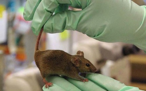 Team reportedly grows 'better quality' stem cells in live mice
