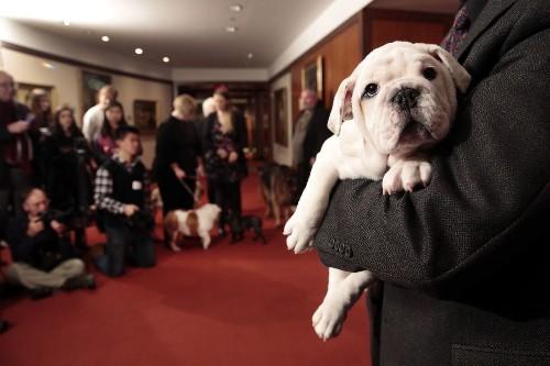 Who's more popular? Labrador retriever stays No. 1; L.A. loves bulldogs - Los Angeles Times