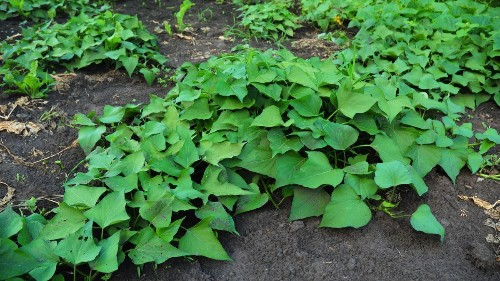 Caring for a potato patch will give you faith in the future