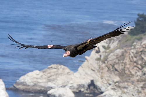 First-ever condor cam now live in Big Sur; this ain't no panda cam