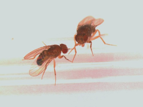 Sexual frustration decreases lifespan -- at least in flies
