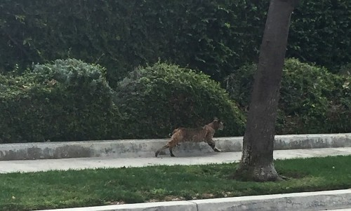Suffering bobcats, coyotes, owls spur Thousand Oaks neighborhood to rethink war on rats
