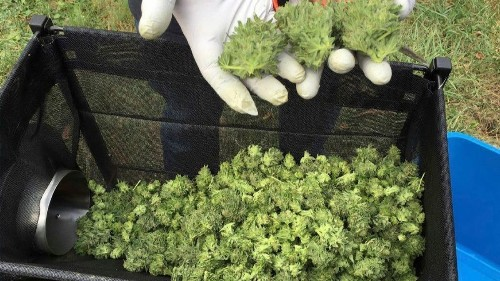 Oregon has too much cannabis. Two laws may help the state manage its surplus