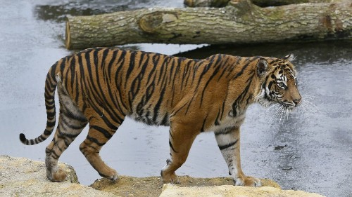 Rare tiger kills prospective mate in London at first meeting