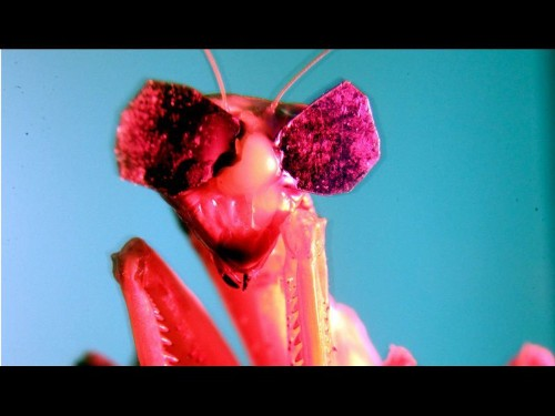 Praying mantises watch movies while wearing tiny 3-D glasses - Los Angeles Times