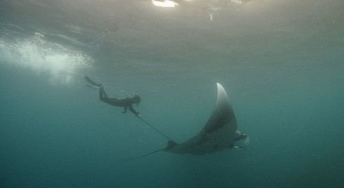 The secret life of manta rays