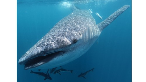 What scientists learned about whale sharks from the DNA they left behind in seawater