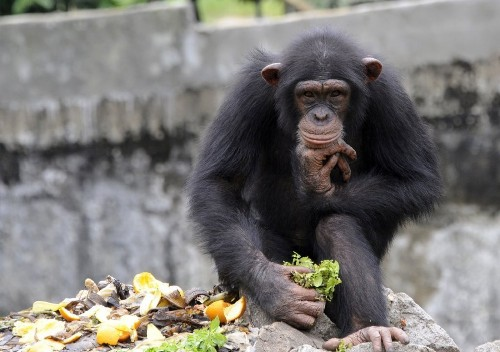 In-gene-ious? Chimps inherit much of their intelligence, study finds