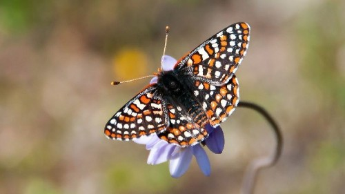 Recovery plan for endangered butterfly takes wing in San Diego