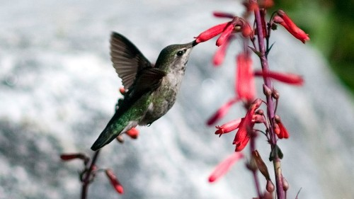 How to attract hummingbirds to your garden year-round - Los Angeles Times