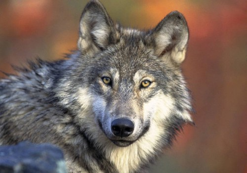 Federal judge puts gray wolf back on endangered species list - Los Angeles Times