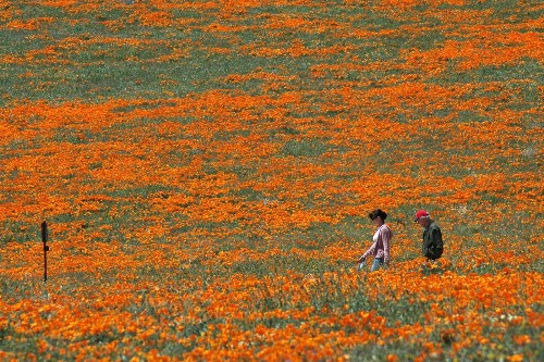 Antelope Valley poppy blooms expected to be moderate, but 'surprise' wildflowers may save the day