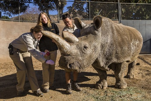 Veterinarians concerned about northern white rhino at San Diego Safari Park