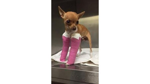 Chihuahua puppy with 2 broken legs abandoned in Northern California trash bin