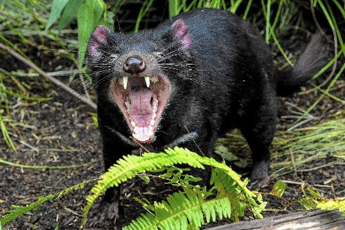 San Diego Zoo joins a heck of an effort: to save the Tasmanian devil