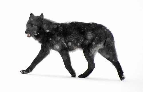 U.S. wildlife officials reject protections for an Alaska wolf in decline - Los Angeles Times