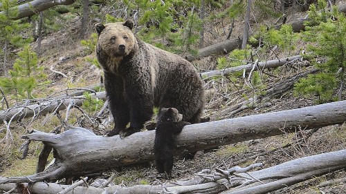 Grizzlies are on the move in the Rockies as protection status is debated