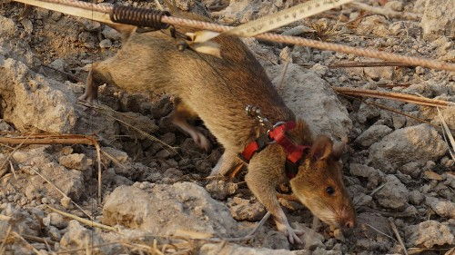 Giant rats are being trained to combat wildlife trafficking in Africa