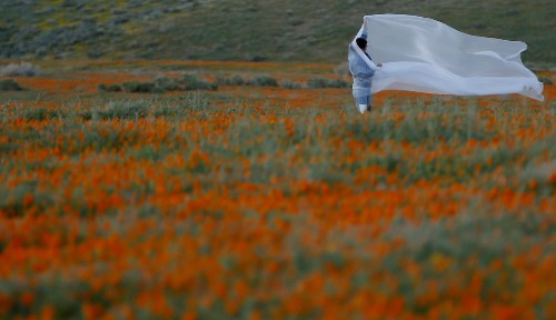 The Antelope Valley poppies have exploded into a spectacular burst of neon, signaling an end to drought - Los Angeles Times