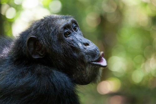 Chimps learn each other's grunts, but is it language?